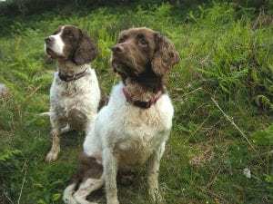 Billy and Tammy Springer Spaniels