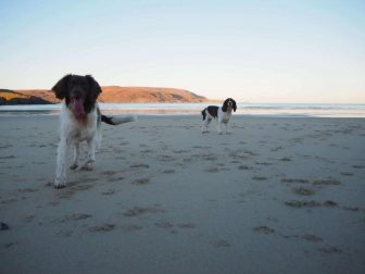 Springer-spaniels-enjoying-the-beach